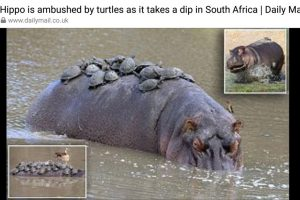 Hippo ambushed by turtles