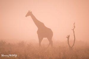 Giraffe silhouet